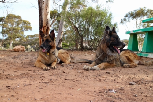 Travelling with two German Shepherd Dogs!Travelling Family Australia