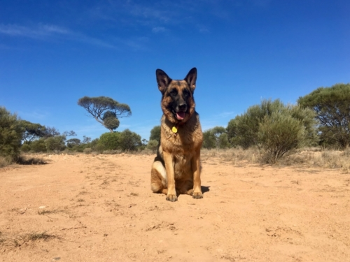 Travelling with two German Shepherd Dogs. A free camping spot on the Nullarbor, near a Quarry.Travelling Family Australia