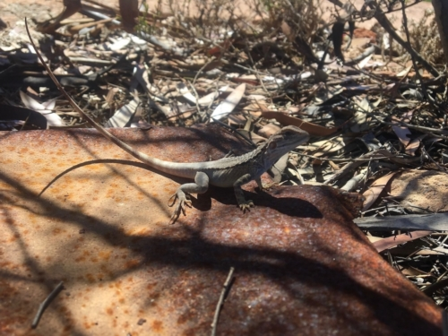 Lizard at a free camping spot on the Nullarbor, near a Quarry.Travelling Family Australia